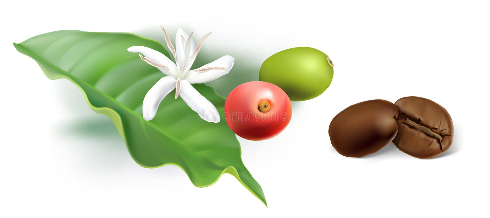 Coffee Beans roasted to perfection, coffee flower, berries and leaf. royalty free illustration