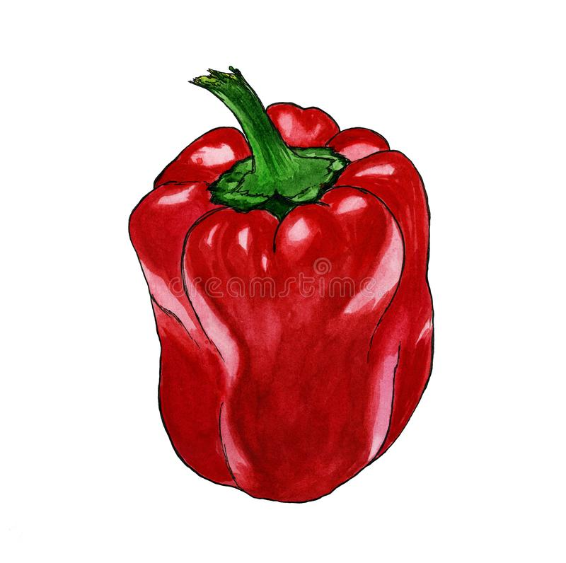 Hand drawn red pepper watercolor paprika on white background isolated stock illustration