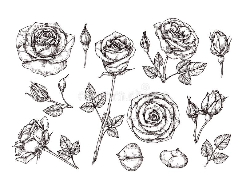 Hand drawn roses. Sketch rose flowers with thorns and leaves. Black and white vintage etching vector botanical isolated stock illustration