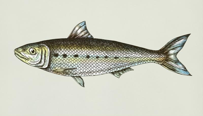 Hand drawn sardine fish isolated royalty free stock photos