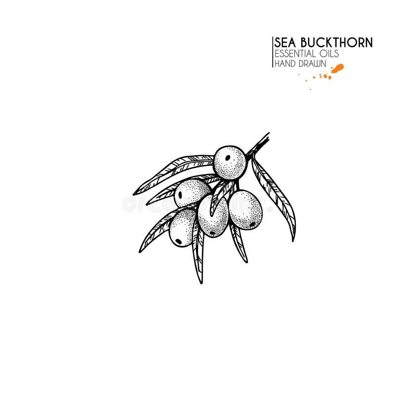 Hand drawn sea buckthorn branch. Vector engraved illustration. Herbal tea, healing. Food ingredient, aromatherapy vector illustration