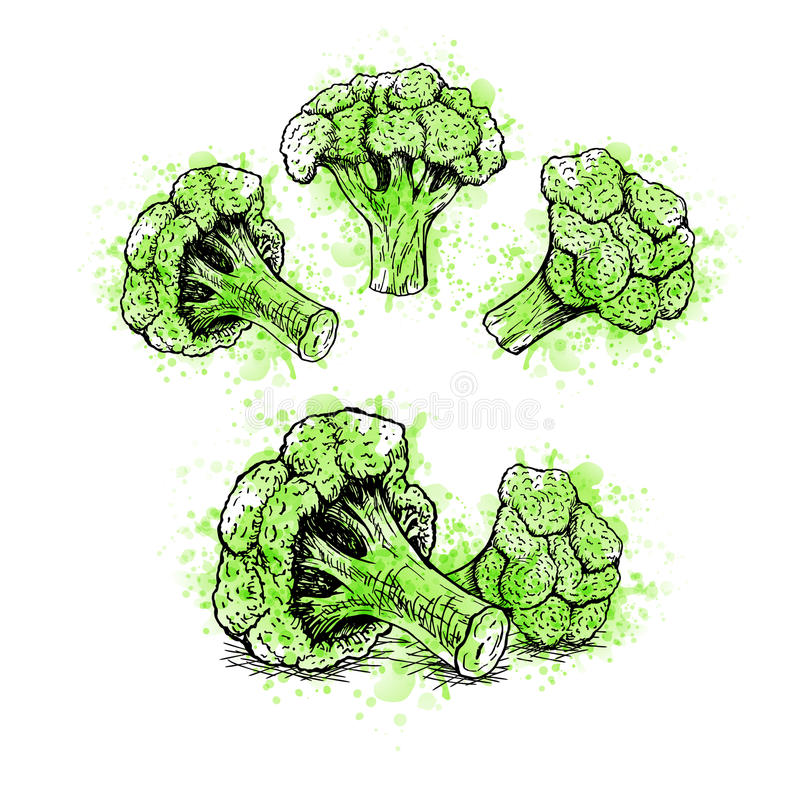 Hand drawn set of broccoli with green watercolor spots. Vector sketch royalty free illustration