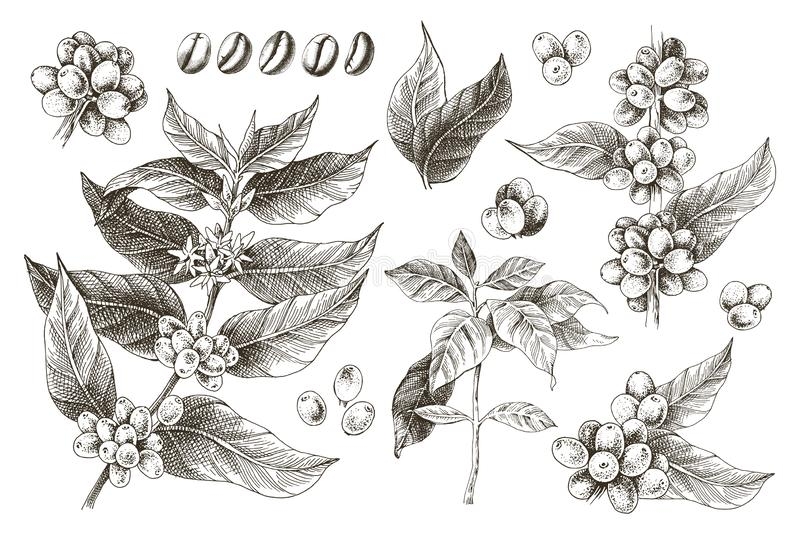 Hand drawn set of coffee tree branches and beans royalty free illustration