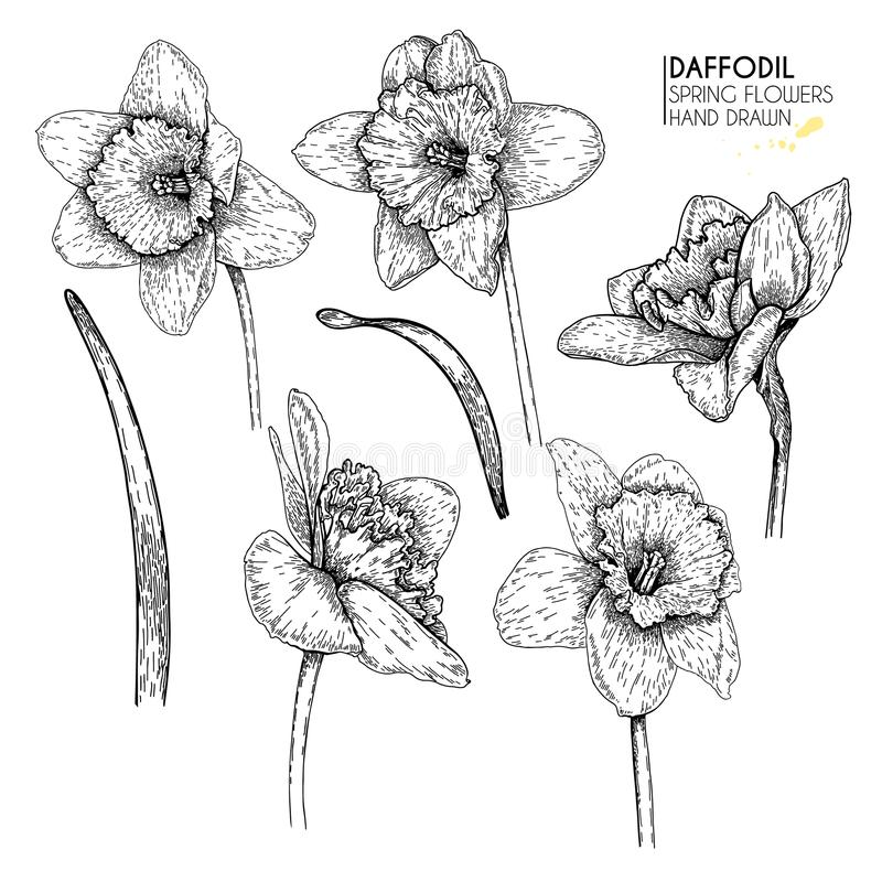Hand drawn set of daffodil or narcissus flowers. Vector engraved art. Spring garden blossoms. Monocrome sketch. Good for vector illustration