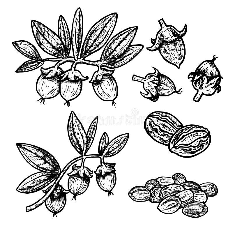 Hand drawn set of jojoba. Vintage vector sketch stock illustration