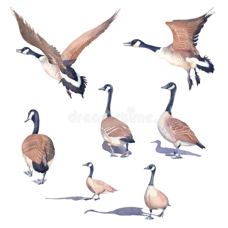 Free Hand Drawn Set Of Canada Geese On A White Background Royalty Free Stock Image - 142993146