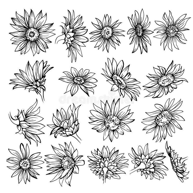 Download Hand Drawn Sketch Of Bloomssunflower Stock Vector