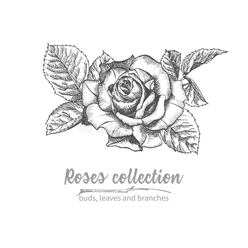 Hand drawn sketch bouquet of roses Detailed vintage botanical illuatration. Floral black silhouette isollated on white background royalty free illustration