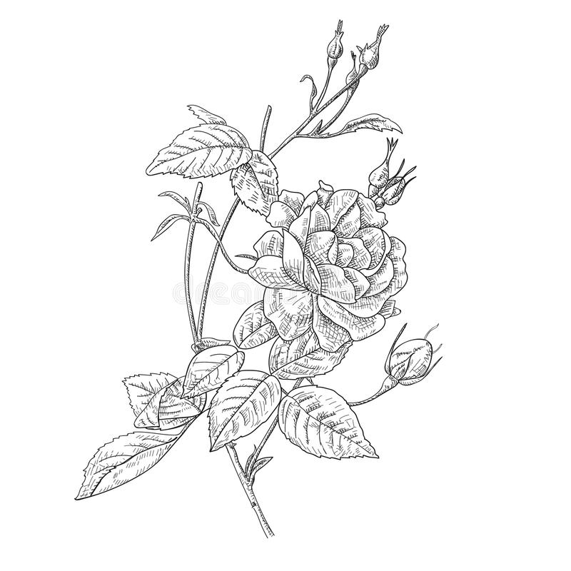 Hand drawn and sketch design Fairy Rose vector illustration