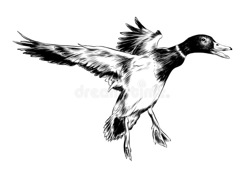Hand drawn sketch of flying duck in black isolated on white background. Detailed vintage etching style drawing. Vector engraved style illustration for posters vector illustration