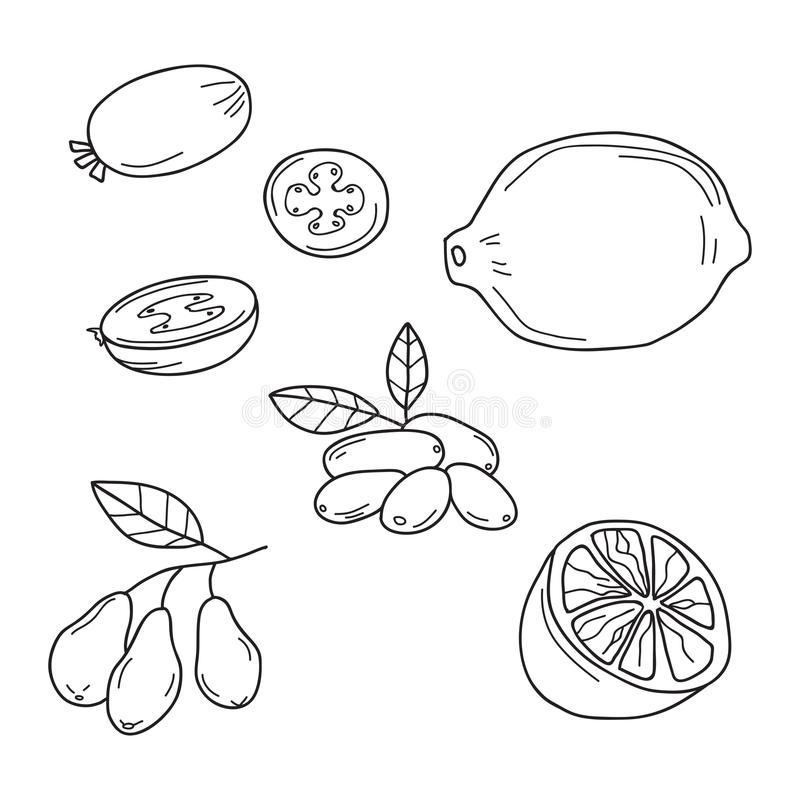 Hand drawn sketch fruits - feijoa, lime and dogwood berries. Hand drawn sketch fruits - feijoa, lime. Dogwood berries. Eco food. Vector set vector illustration