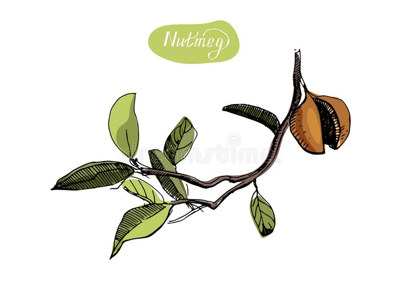 Hand drawn sketch of nutmegs. Spice and condiment vector illustration isolated on white background. Nutmeg spice vector drawing. Ground seasoning nut sketch stock illustration