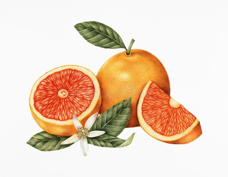 Hand drawn sketch of oranges royalty free illustration