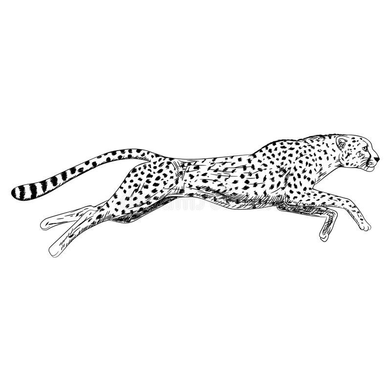 Hand drawn sketch of running cheetah. Vector illustration. Hand drawn sketch of running cheetah. Retro realistic isolated animal. Vintage style. Doodle line vector illustration