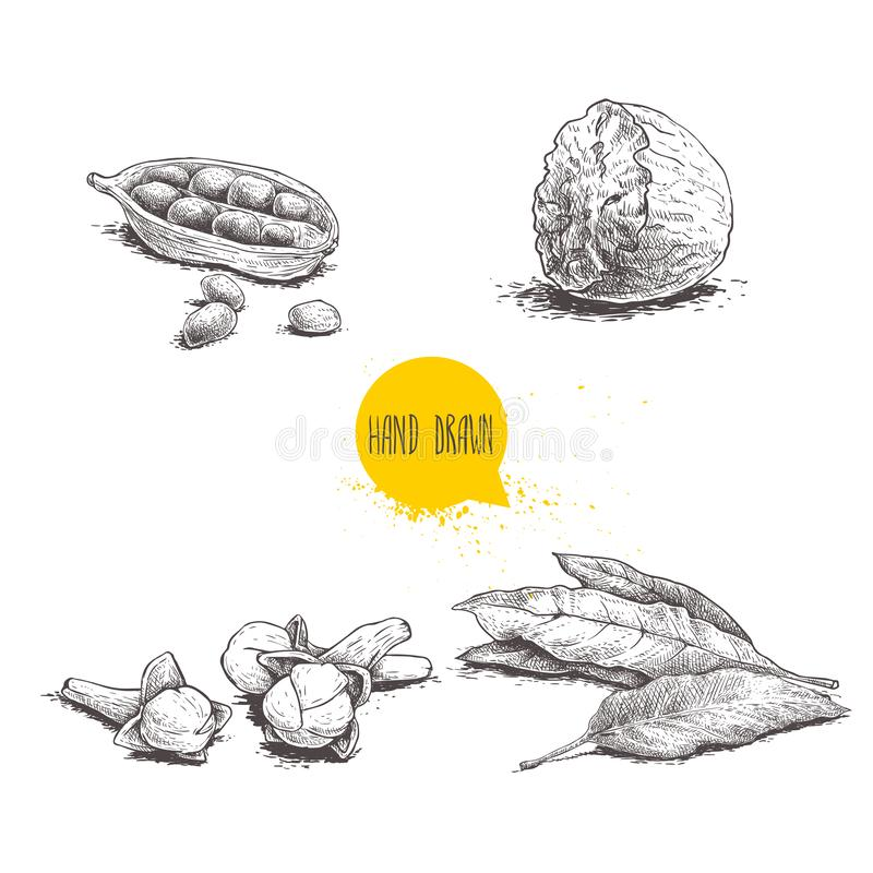 Hand drawn sketch spices set. Bay leaves, nutmeg, cardamom and cloves. Herbs, condiments and spices vector illustration. Isolated on white background royalty free illustration