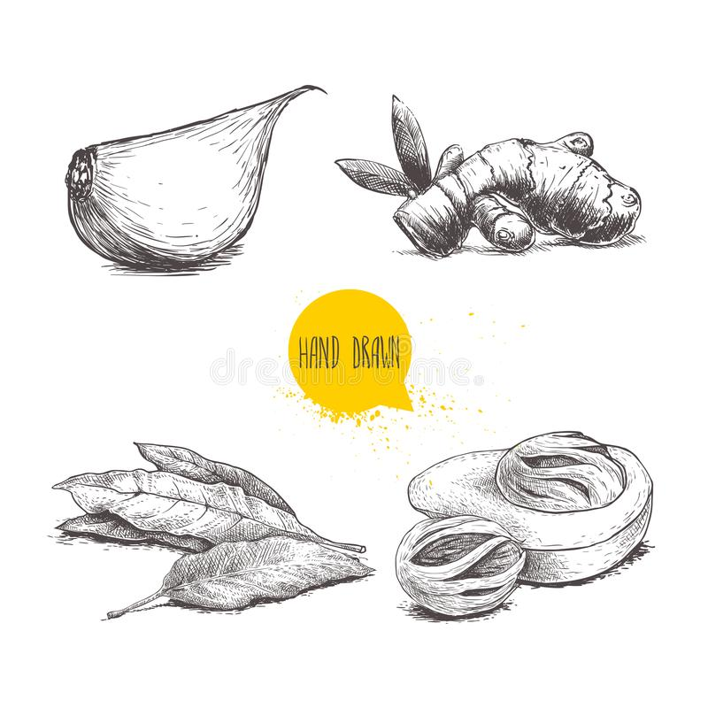 Hand drawn sketch spices set. Garlic clove, ginger root, bay leaves bunch and nutmeg mace fruits. Herbs, condiments and spices vec. Tor illustration isolated on vector illustration