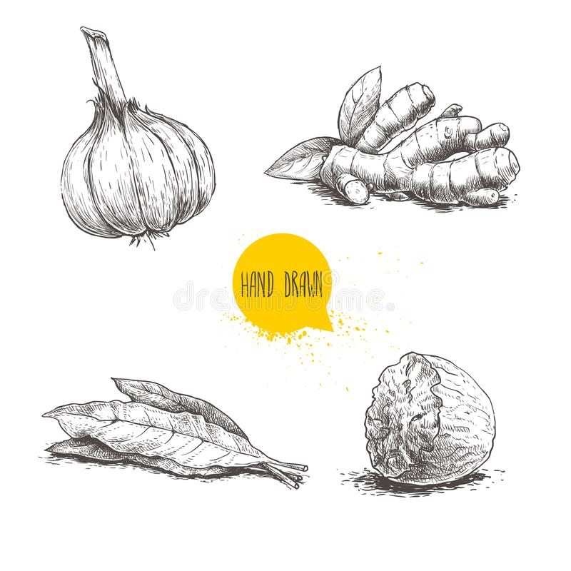 Hand drawn sketch spices set. Garlic, ginger root, bay leaves bunch and nutmeg. Herbs, condiments and spices vector illustration. Isolated on white background royalty free illustration