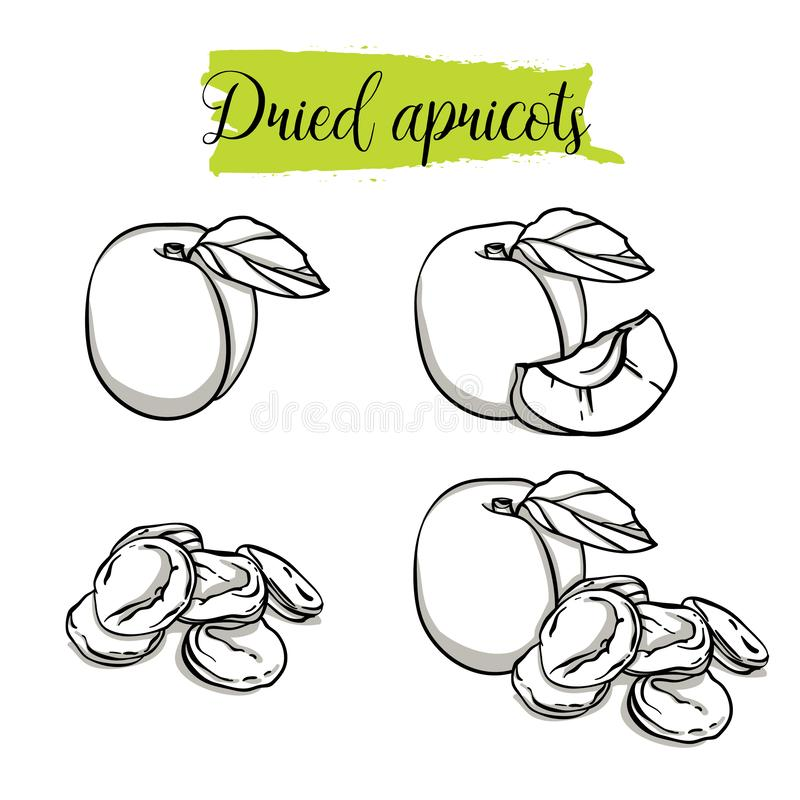 Hand drawn sketch style Apricot set. Single, group fruits, dried apricots. Organic food, vector doodle illustrations collection isolated on white background vector illustration