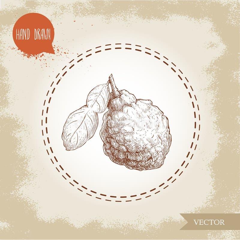 Hand drawn sketch style bergamot fruit with leaf. Kaffir lime vector illustration. Organic food. Citrus on vintage background royalty free illustration