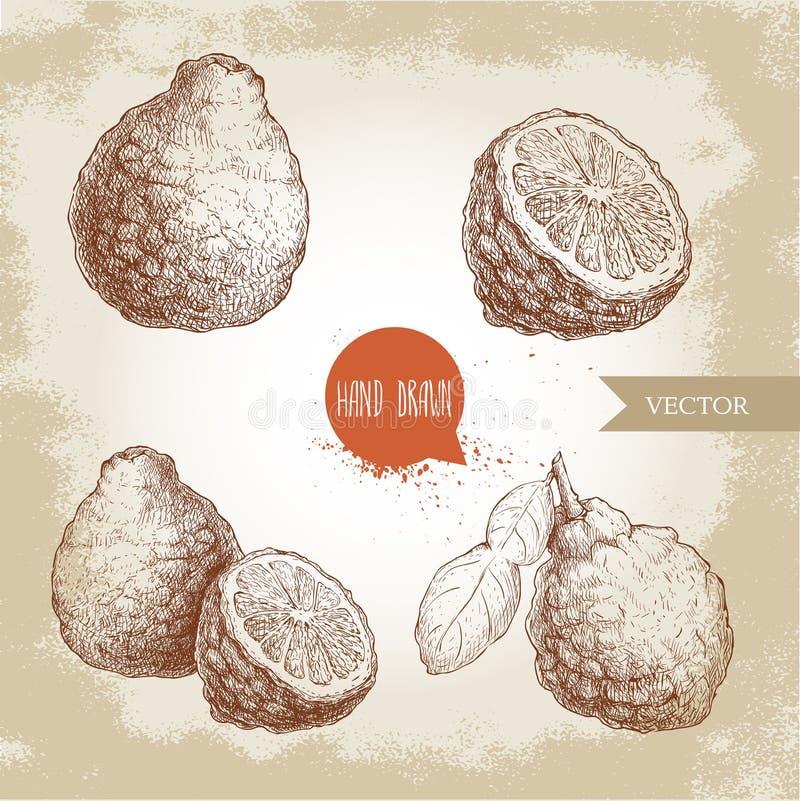 Hand drawn sketch style bergamot fruits set. Kaffir lime whole. With leaf and half vector illustration. Organic food. Citrus collection on vintage background vector illustration