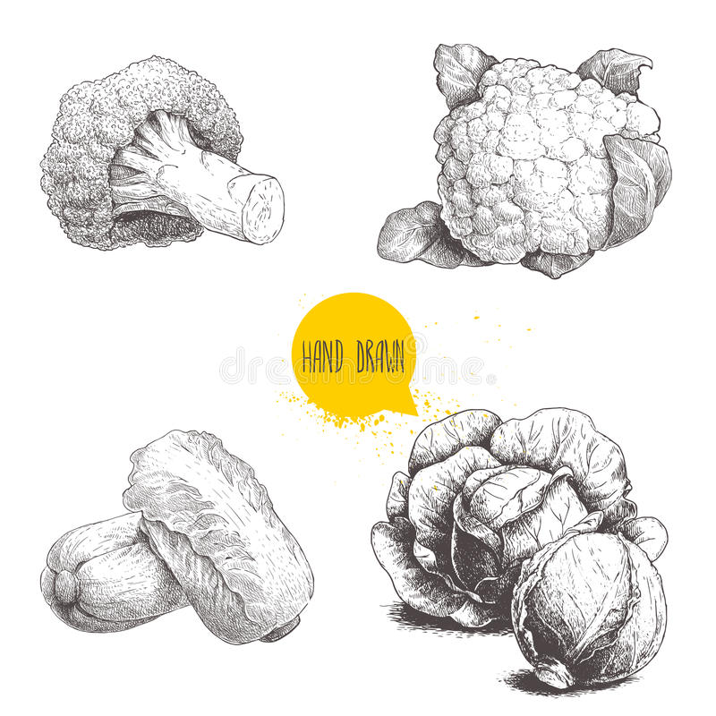 Hand drawn sketch style cabbages set. Cabbages heads, cauliflower, broccoli and chinese cabbage. Pe-tsai stock illustration