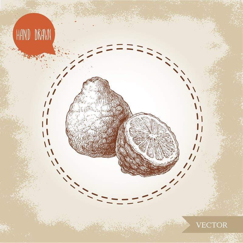 Hand drawn sketch style composition of bergamot fruit. Kaffir lime whole and half vector illustration. Organic food. Citrus on vintage background stock illustration
