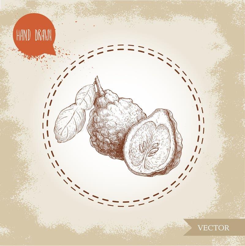 Hand drawn sketch style composition of bergamot fruits. Kaffir lime wholewith leaf and half vector illustration. Organic food. Citrus on vintage background royalty free illustration