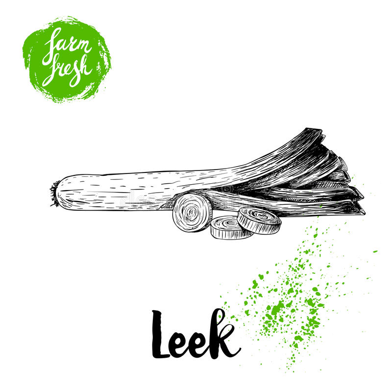 Hand drawn sketch style fresh leek with sliced pieces. Vector illustration of healthy fresh organic food. Farm fresh product. royalty free illustration