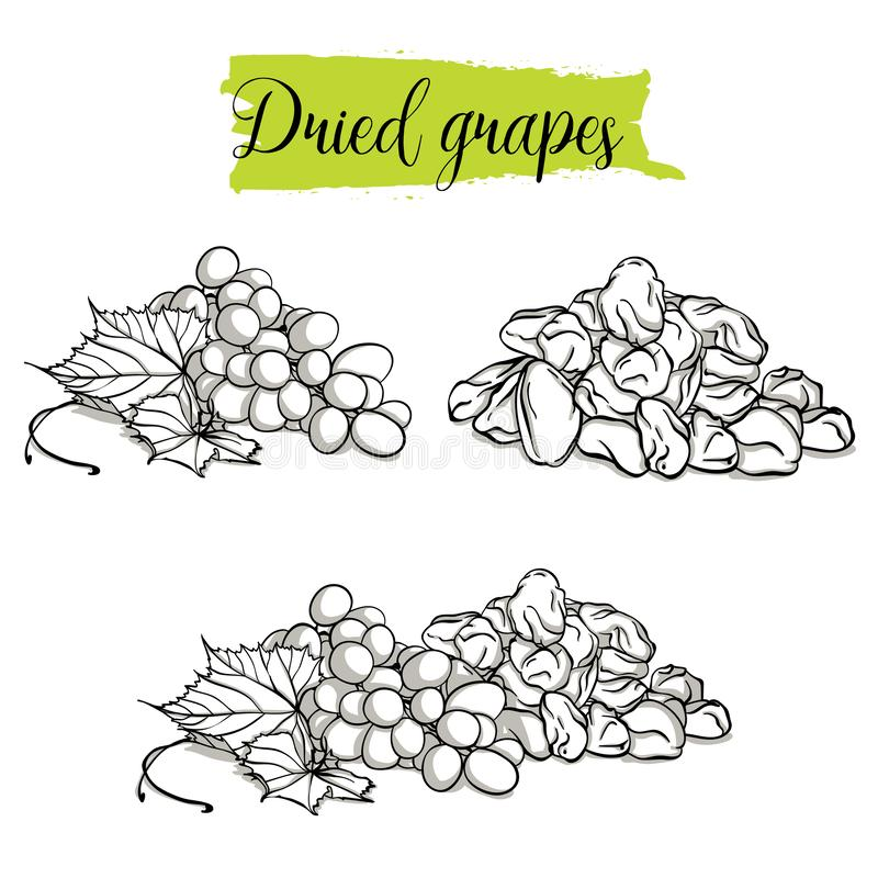 Hand drawn sketch style Grapes set. Single, group fruits, dried, raisin, branch of grapes. Organic food, vector doodle illustrations collection isolated on stock illustration
