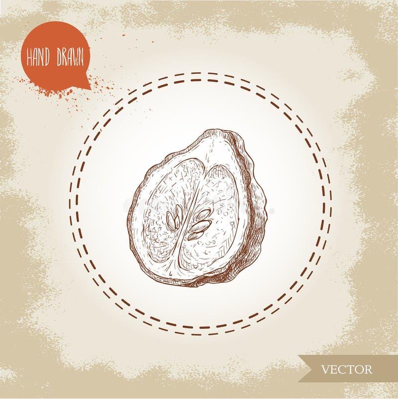 Hand drawn sketch style half cut of bergamot fruit with seeds. Kaffir lime vector illustration. Organic food. Citrus on vintage background stock illustration