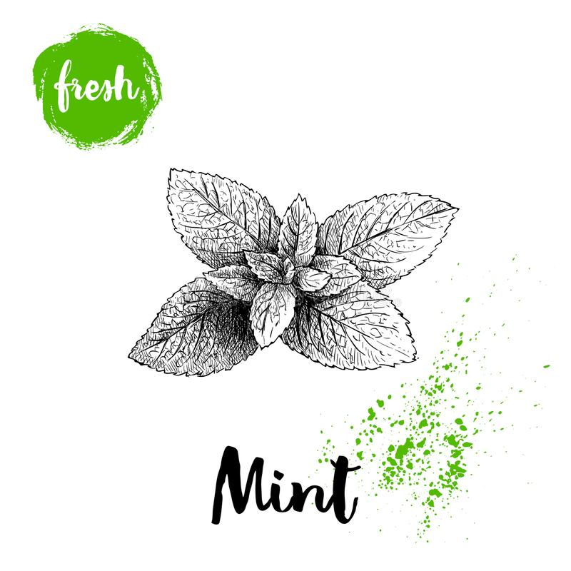 Hand drawn sketch style mint branch. Healthy herb vector illustration. Peppermint fresh leaves vector illustration