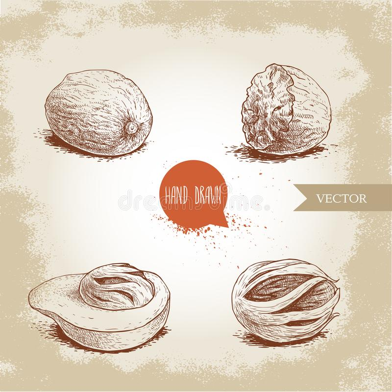 Hand drawn sketch style nutmegs set. Dried seeds and fresh mace fruits. Hand drawn sketch style nutmegs set. Spice and condiment vector illustration isolated on stock illustration