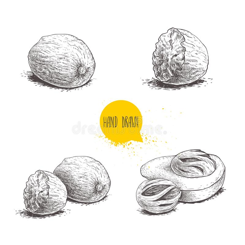 Hand drawn sketch style nutmegs set. Spice and condiment vector illustration. Dried seeds and fresh mace fruits. Hand drawn sketch style nutmegs set. Spice and royalty free illustration