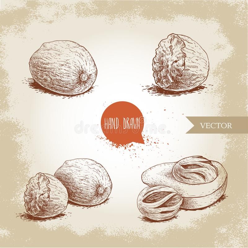 Hand drawn sketch style nutmegs set. Spice and condiment vector illustration isolated on old background. Dried seeds and fresh mace fruits royalty free illustration
