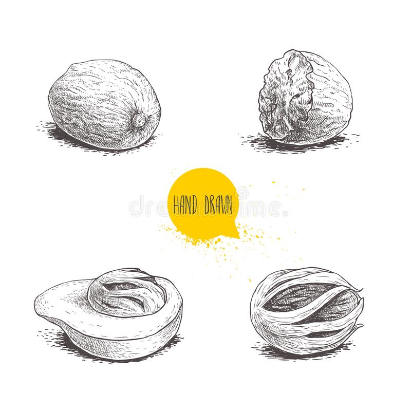 Hand drawn sketch style nutmegs set. Spice and condiment vector illustration isolated on white background. Dried seeds and fresh mace fruits vector illustration