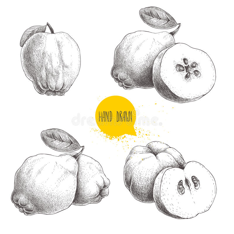 Free Hand Drawn Sketch Style Set Of Quinces. Quince Apple With Leaf, Group Of Quinces And Sliced Quince. Eco Fruit Vintage Vector Illus Stock Photo - 92387480
