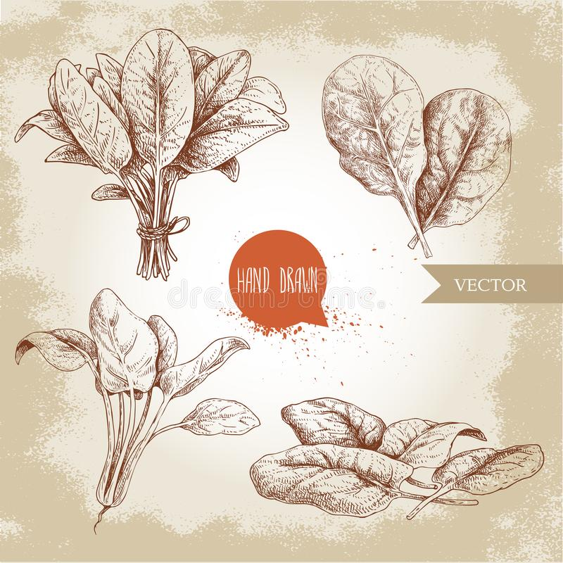 Hand drawn sketch style spinach leaves set. Groups, batch and bunch. Organic diet food vector illustration isolated on old backgro vector illustration