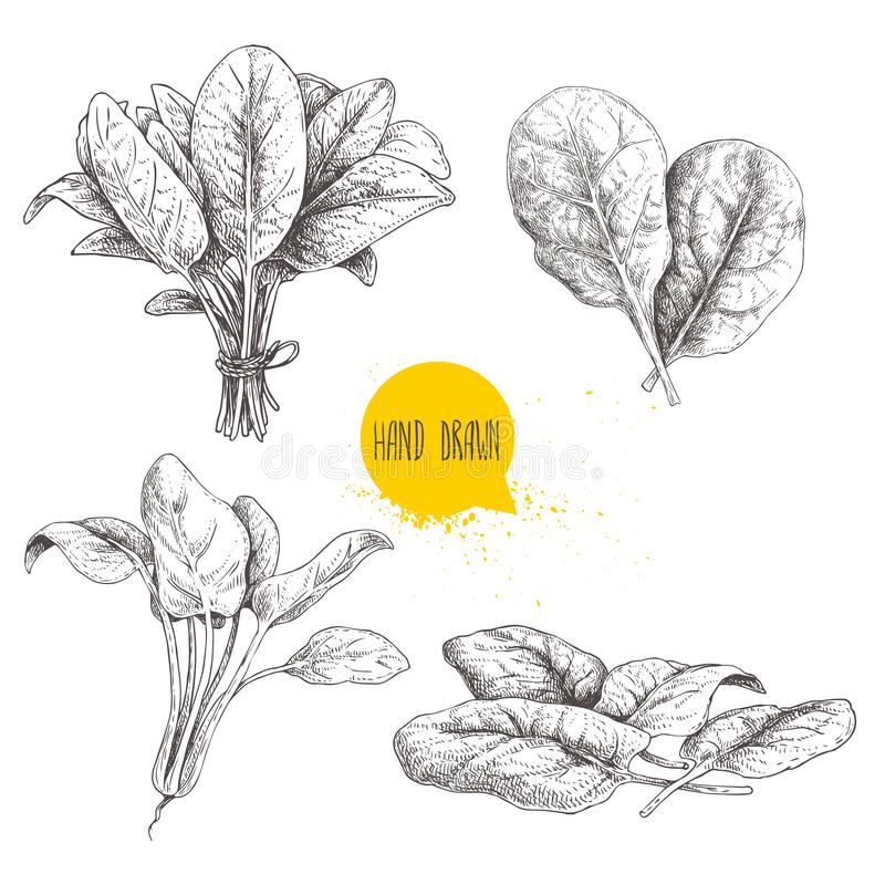 Hand drawn sketch style spinach set. Fresh farm green leaves hand made retro illustrations. Vector artwork. Isolated on white background royalty free illustration