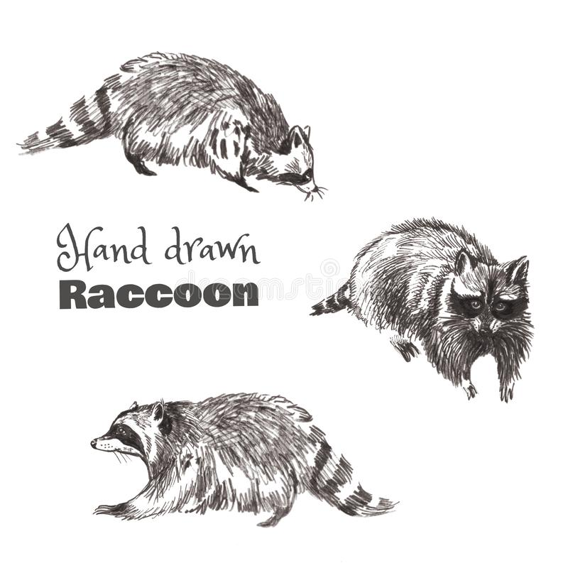 Hand-drawn sketched raccoon in motion. Black and white set of sneaking raccoons. royalty free illustration