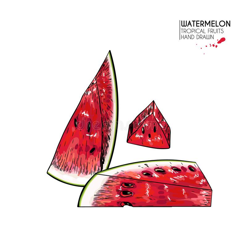 Hand drawn sliced watermelon. Vector colored engraved illustration. Juicy summer fruit. Food healthy ingredient. For. Cooking, cosmetic package design stock illustration