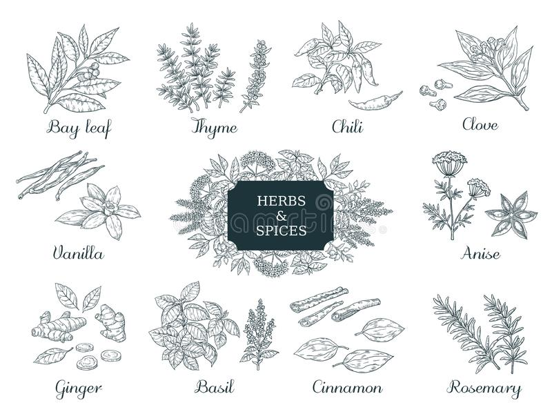 Hand drawn spices. Indian food herbs and vegetables, Italian and Asian ingredients, chili thyme and ginger vector vector illustration