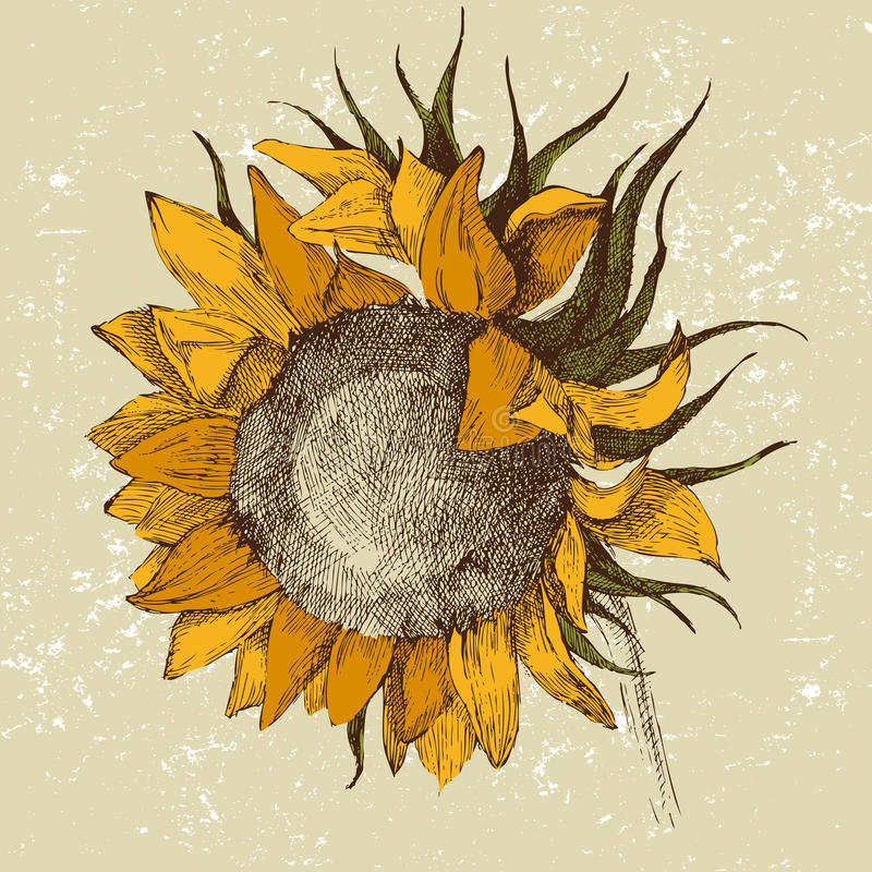 Download Hand drawn sunflower stock vector. Image of summer, details - 23146668