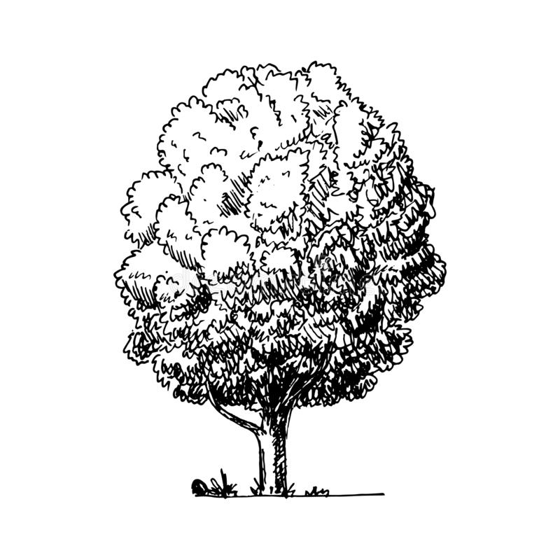 Hand Drawn tree doodle. Sketch style icon. Decoration element. Isolated on white background. Flat design. Vector illustration. Retro, line, stylized, pen vector illustration