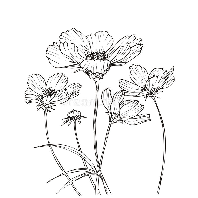 Anemone Flower Line Drawing : Hand drawn vector with cosmos flowers stock