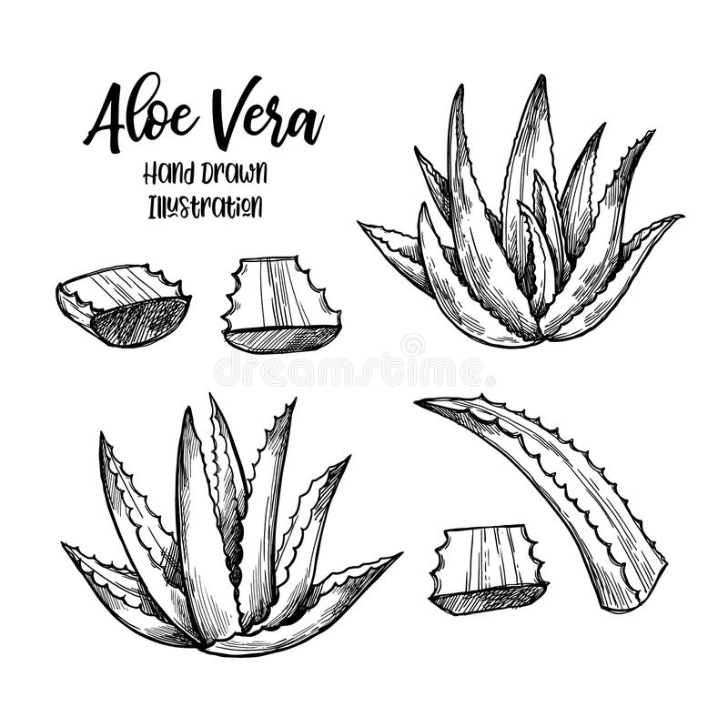 Hand drawn vector illustration. Aloe vera. Herbal plant. Clipart in sketch style. Perfect for cosmetics labels, invitations, card vector illustration