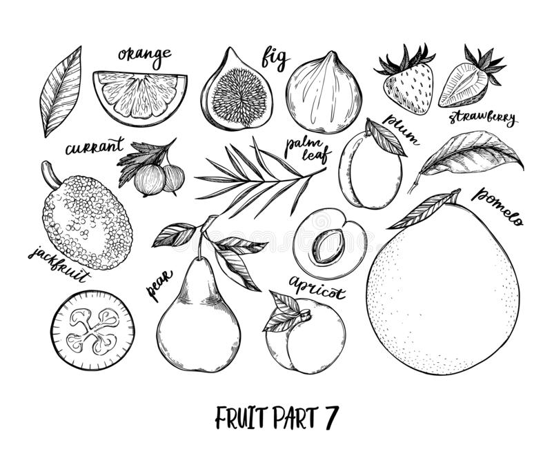 Hand drawn vector illustration - Collection of tropical and exotic Fruits. Healthy food elements. Fig, pomelo, orange, jackfruit, vector illustration