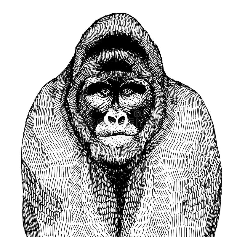 Hand drawn vector illustration with a gorilla royalty free stock photo