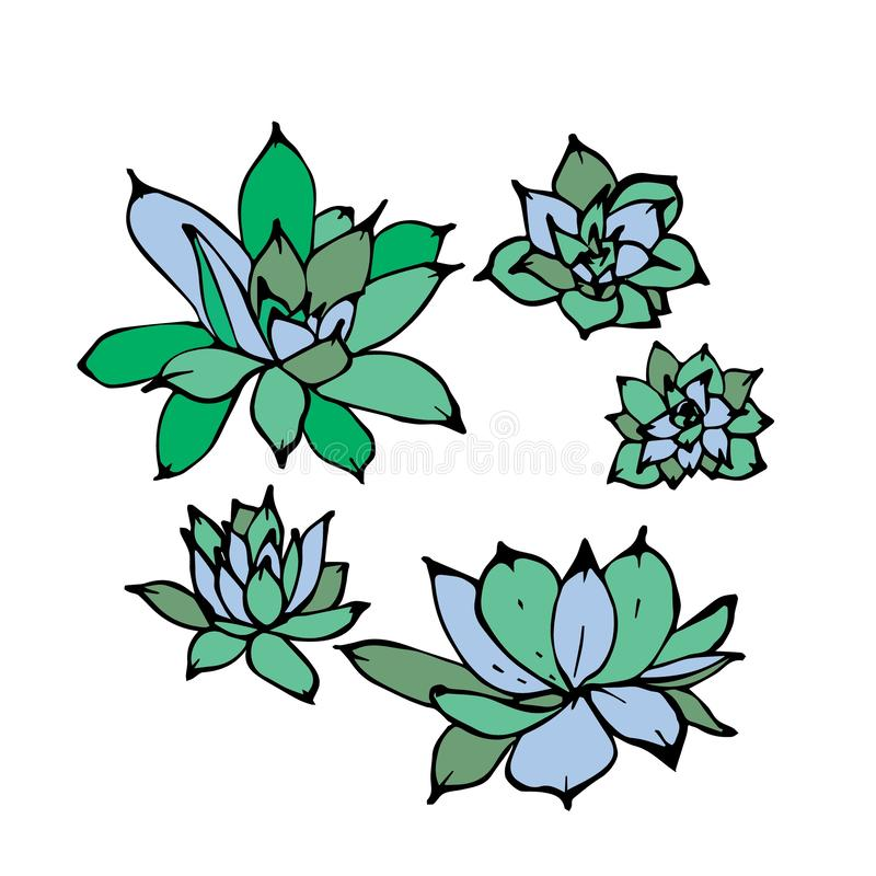 Hand drawn vector illustration of green echeveria succulent plants. View from above, isolated on white background. royalty free illustration