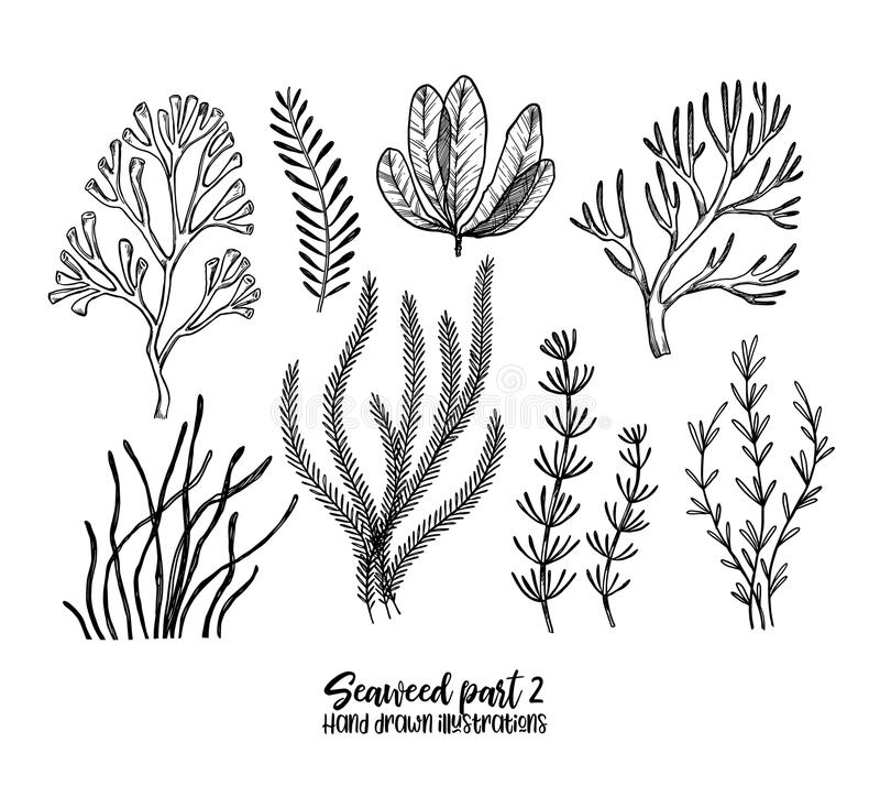 Hand drawn vector illustrations. Seaweed. Herbal plants in sketch style. Perfect for labels, invitations, cards, leaflets, prints. Etc vector illustration