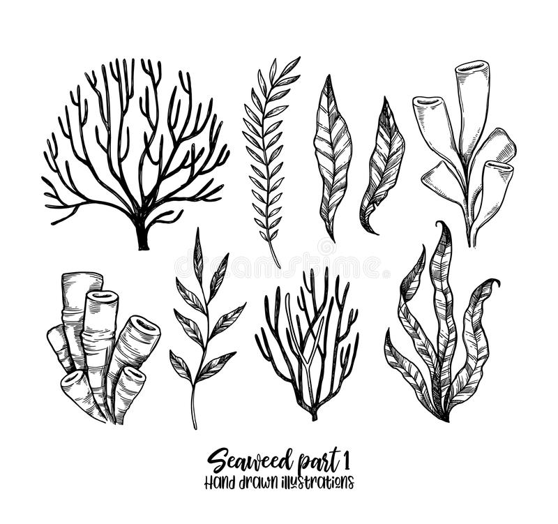 Hand drawn vector illustrations. Seaweed. Herbal plants in sketch style. Perfect for labels, invitations, cards, leaflets, prints. Etc stock illustration